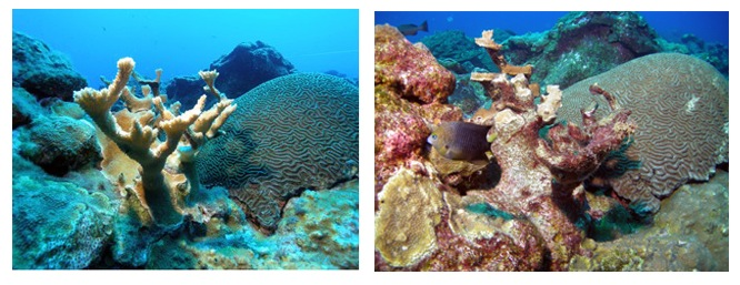 Images of corals impacted by Hurricane Ike (2008).
