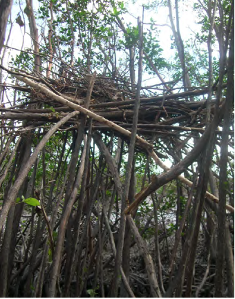 Mangrove storm surge damage from Hurricane Wilma.