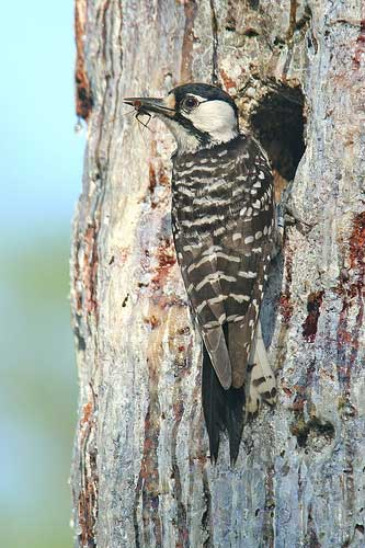 Image of a Red Cockaded Woodpecker.